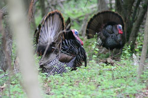 Wild_turkey1